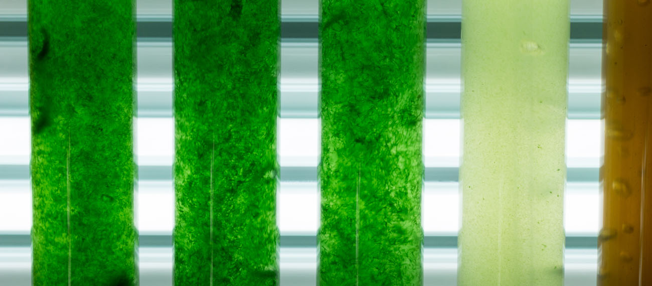 JAMK: closed energy and nutrient cycle in the microalgae cultivation