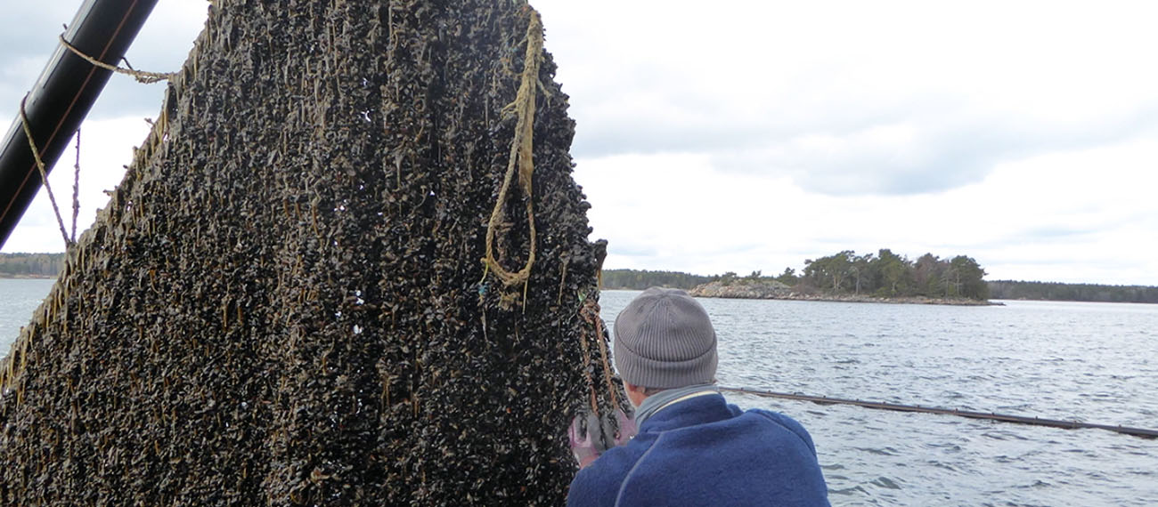 Mussel cultivation