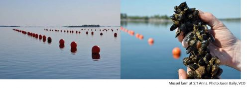 'Mussel farming in the Baltic Sea as an environmental measure -  new positive data' A factsheet from SLU Aquaculture in collaboration with SUBMARINER Network