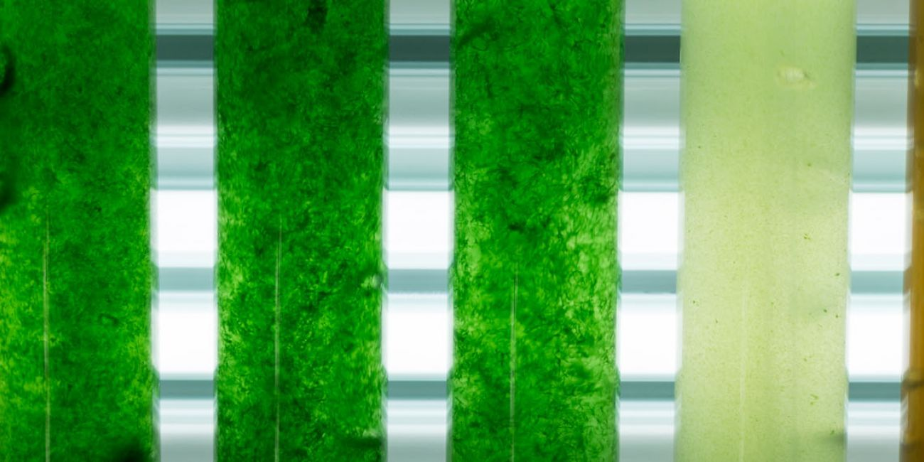 Closed energy and nutrient cycle in the microalgae cultivation